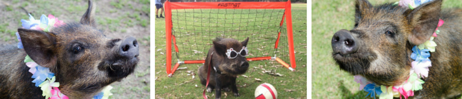 Coco The Miniature Pig